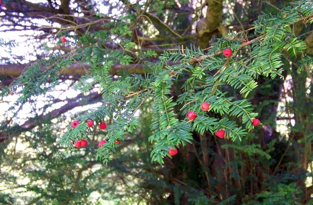 image of Yew Branch with Red Berries
